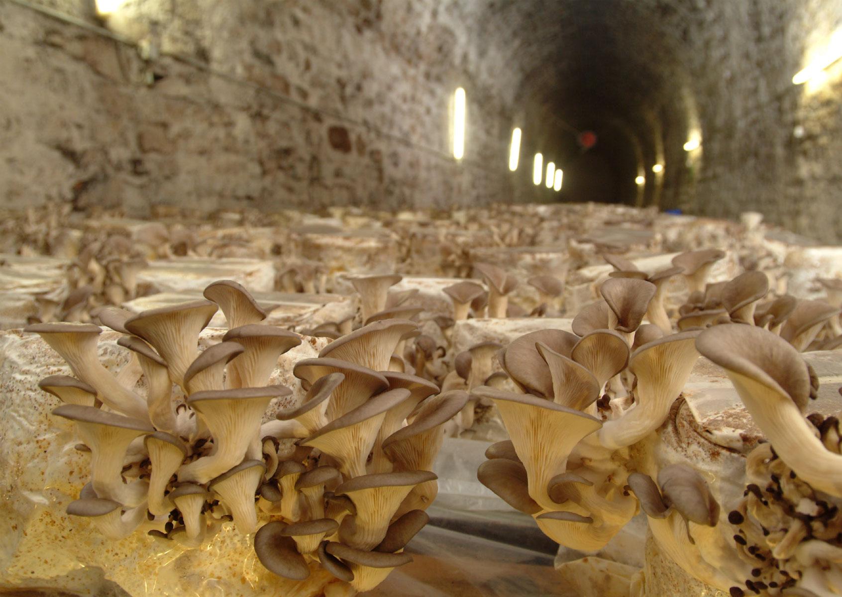 Pilze im Zuchttunnel